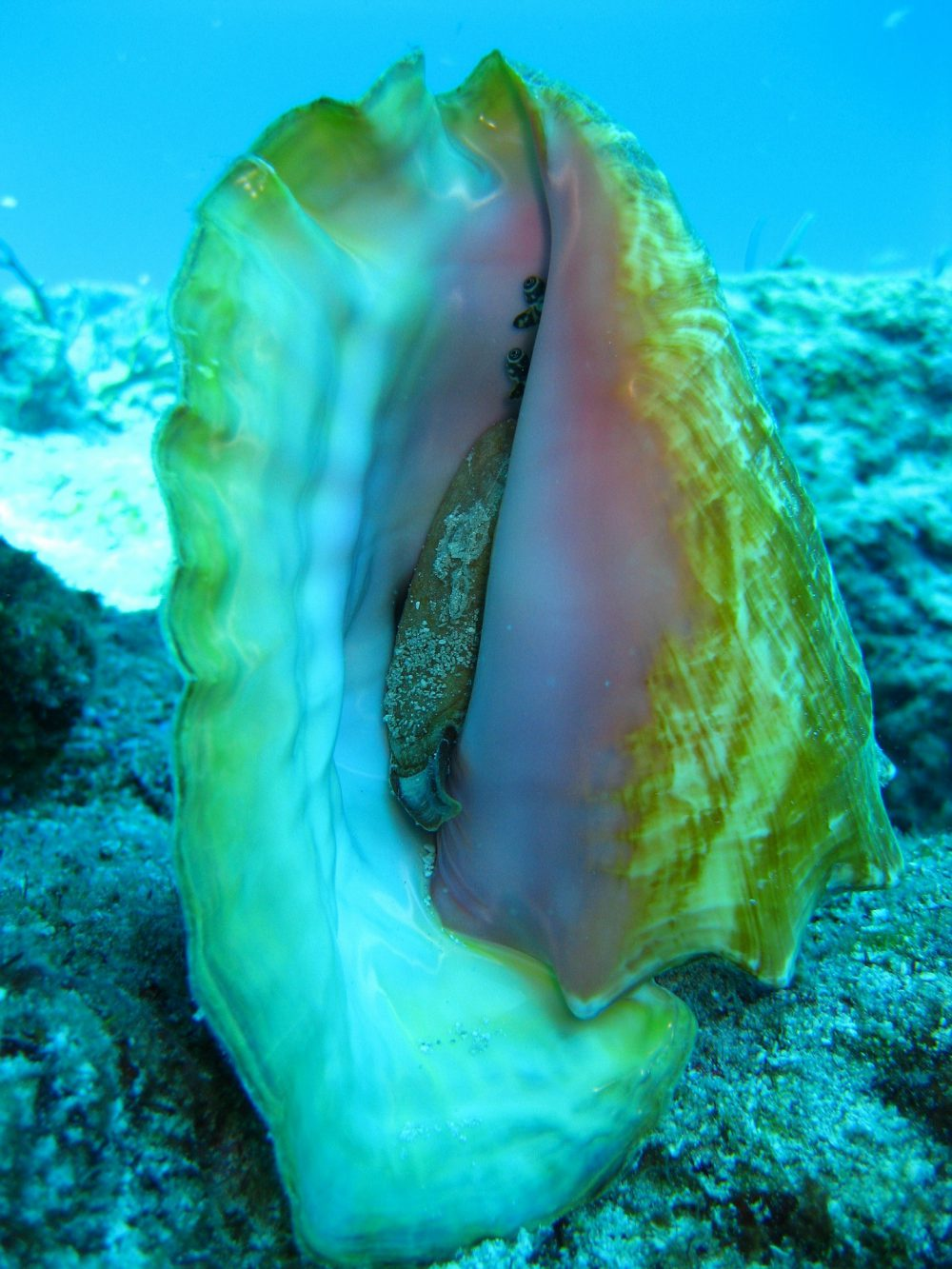 Strombus Gigas Queen conch